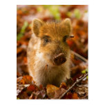A Wild Boar Piglet Sus Scrofa in the Autumn Leaves Post Cards