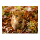 A Wild Boar Piglet Sus Scrofa in the Autumn Leaves Postcards