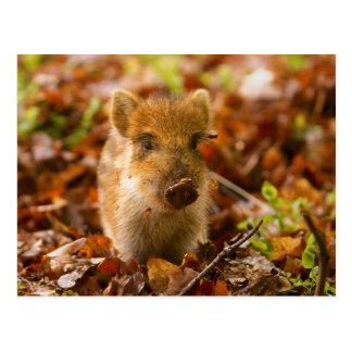 A Wild Boar Piglet Sus Scrofa in the Autumn Leaves Postcard