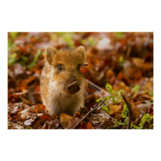 A Wild Boar Piglet Sus Scrofa in the Autumn Leaves Poster