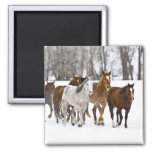 A winter scenic of running horses on The 2 2 Inch Square Magnet