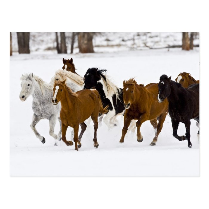 A winter scenic of running horses on The Postcard