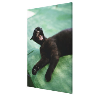 A yawning cat. canvas print