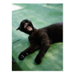 A yawning cat. post card