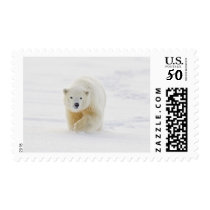 A yearling polar bear cub plays in the snow postage