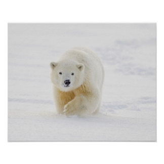 A yearling polar bear cub plays in the snow poster
