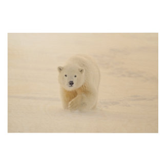A yearling polar bear cub plays in the snow wood print