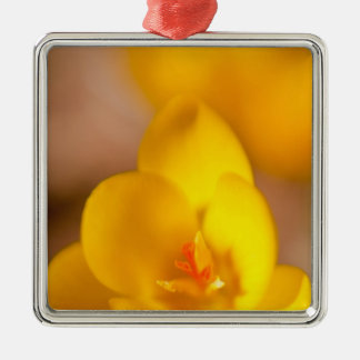 A yellow crocus blooms in Portsmouth, New Ornament