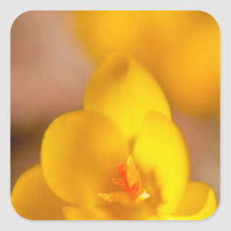A yellow crocus blooms in Portsmouth, New Square Sticker