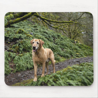 A yellow lab waiting on a trail for several mouse pad