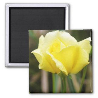 A Yellow Rose Fridge Magnet