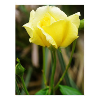 A Yellow Rose Post Card