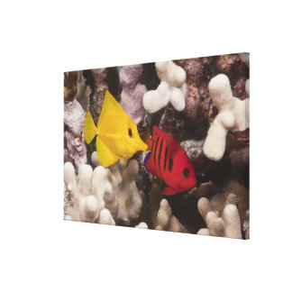 A Yellow Tang Gallery Wrap Canvas