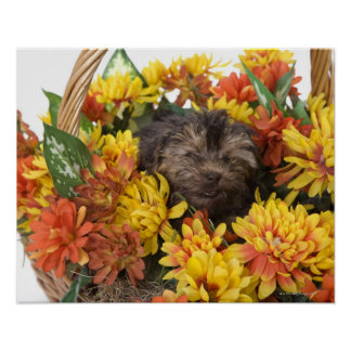 A Yorkie-Poo puppy in a basket of artificial Poster