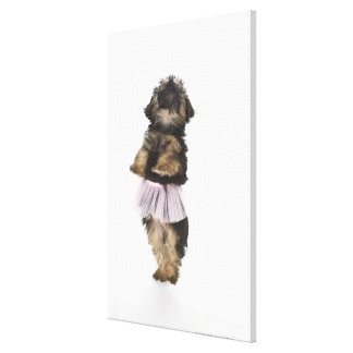 A Yorkie-poo puppy in a tutu on her hind legs. Canvas Print