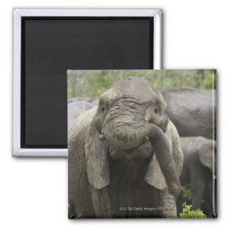 A young African elephant (Loxodonta africana) Magnet