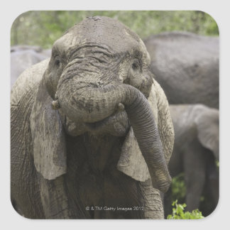 A young African elephant (Loxodonta africana) Square Sticker