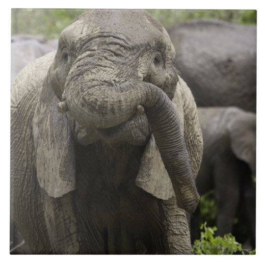 A young African elephant (Loxodonta africana) Tile