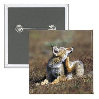 A young Argentine Gray Fox, (Dusicyon griseus), Button