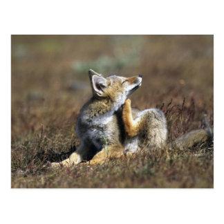 A young Argentine Gray Fox, (Dusicyon griseus), Post Card