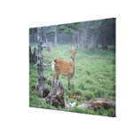 A young deer in a forest clearing stretched canvas print