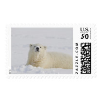 A young polar bear rolls in the snow postage