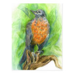 A Young Robin, Watercolor Pencil Postcard