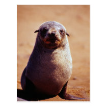 A Young South African Fur Seal Postcard