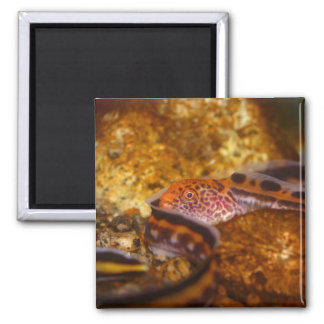 A young Wolf EEL 2 Inch Square Magnet