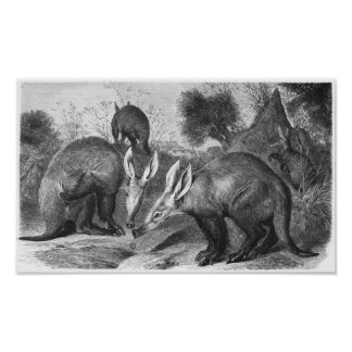 Aardvark - Orycteropus afer Portfolio Poster