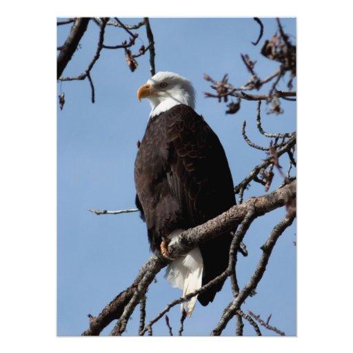 ABE Alaskan Bald Eagle Photograph
