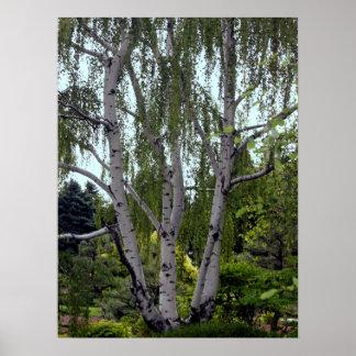 Abedul blanco en bosque enorme encantado póster