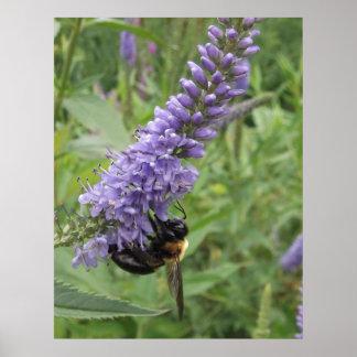 Abeja de la miel en la flor púrpura posters