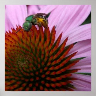 Abeja del sudor en Echinacea Póster