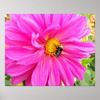 Abeja en la foto floral de la dalia rosada póster