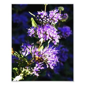 Abeja en la mariposa Bush - flores de la lavanda Fotografías