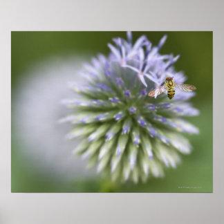 Abeja joven que recoge el polen en una flor póster