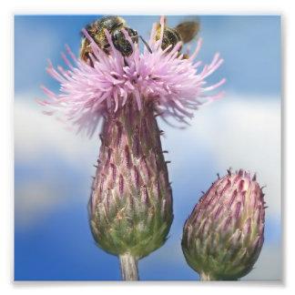 Abejas en las flores rosadas de Arvense del Cirsiu Cojinete