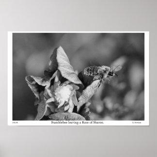 Abejorro del Grayscale que sale de un rosa de Shar Impresiones