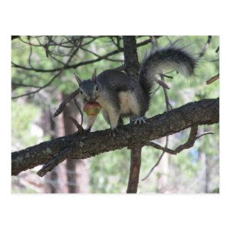 Abert's Squirrel Postcard