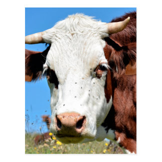 Abondance cow in the French Alps Postcard