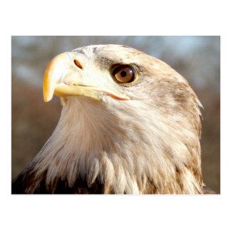 About Bald Eagle Postcard