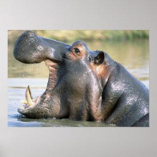 Abra el hipopótamo articulado póster
