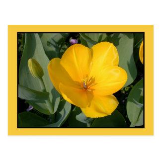 Abra el tulipán amarillo (el tulipa) tarjetas postales