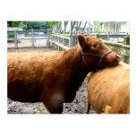 Abrazo de la vaca tarjetas postales