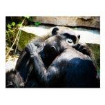 Abrazo/que prepara del chimpancé tarjetas postales