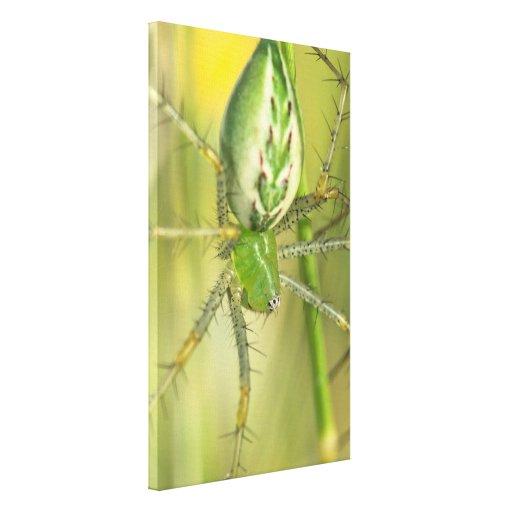 Abrigo de la lona: Araña 3 del lince Impresión En Lienzo Estirada
