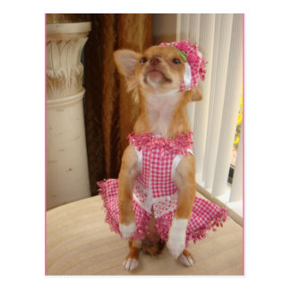 absolutely cute chihuahua postcard
