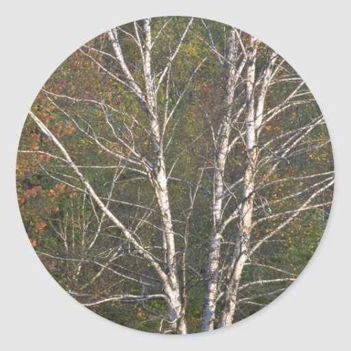 Abstract White birch tree on the edge of a hardwoo Stickers
