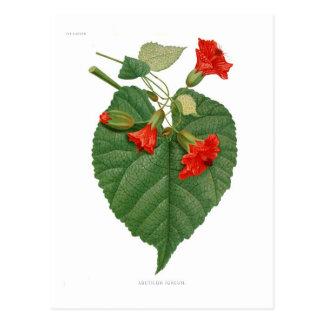 Abutilon igneum postcard
